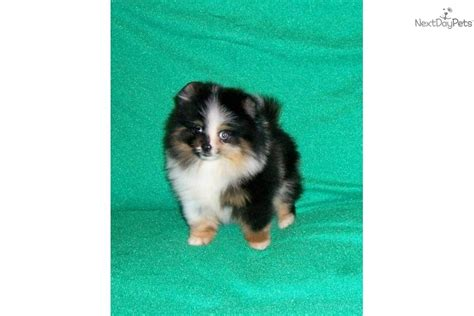 show quality pomeranian puppies for sale pomeranian show quality puppies for sale breeds picture breeds picture