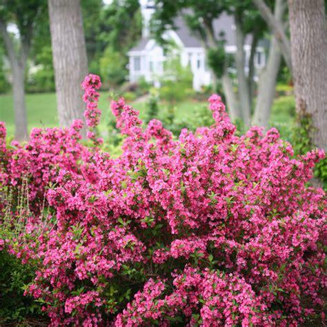 flowering shrub weigela sonic bloom 174 pink reblooming weigela weigela florida