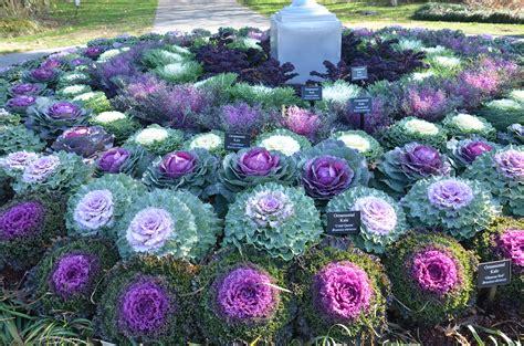 ornamental cabbage annual or perennial top 28 ornamental kale annual or perennial valley
