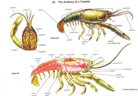crayfish diagram crayfish dissection directions hendoscience