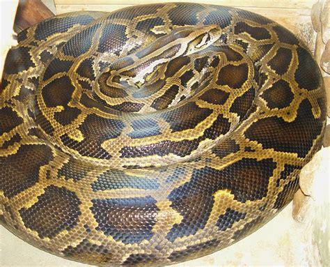 python image burmese python