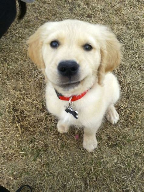smiley golden retriever 17 best images about goldens on the golden retriever puppies and charles