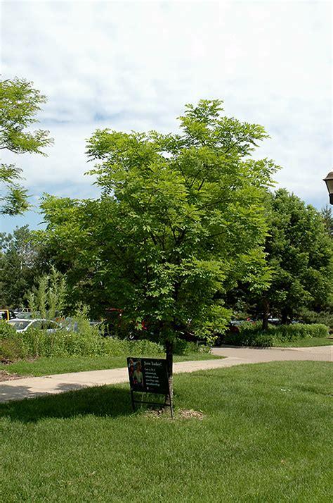 Olive Garden Gahanna by Summertime Amur Maackia Maackia Amurensis Summertime