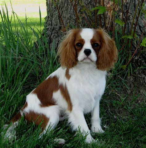 king charles cavalier puppies for sale mn cavalier king charles