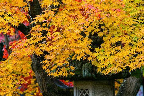 hisao mogi maple japanese maple fall color 10 photograph by hisao mogi