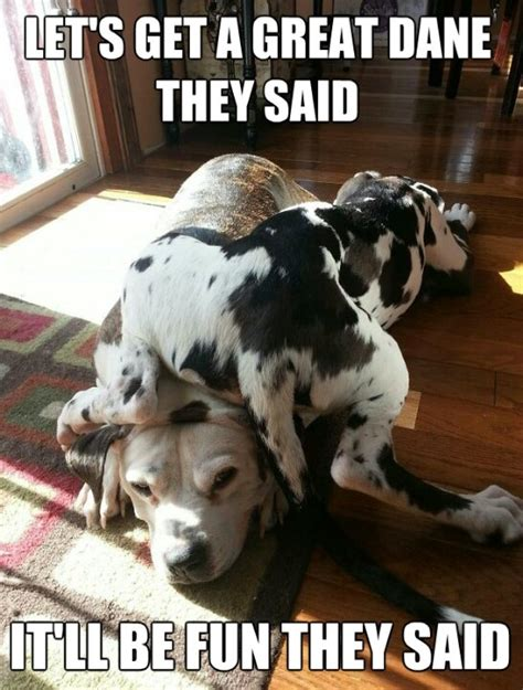 Great Dane Meme - funny great dane memes memes