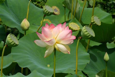 images of the lotus flower image gallery lotus flower