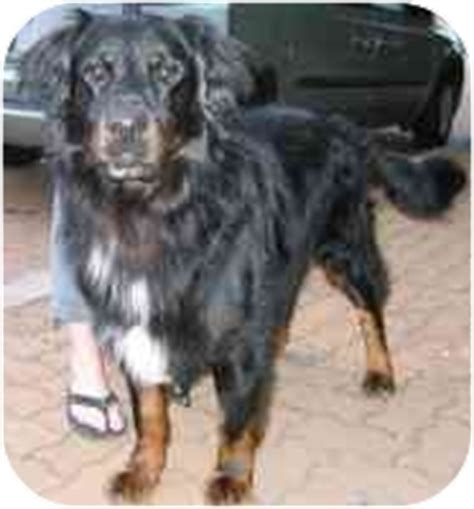rottweiler bernese mix rocky adopted vancouver bc bernese mountain rottweiler mix