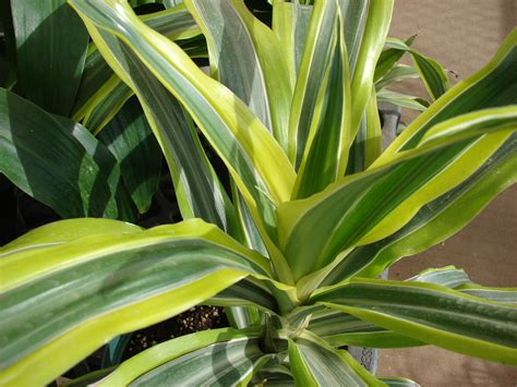 dracaena fragrans a guide to house plants top 5 indoor plants that will