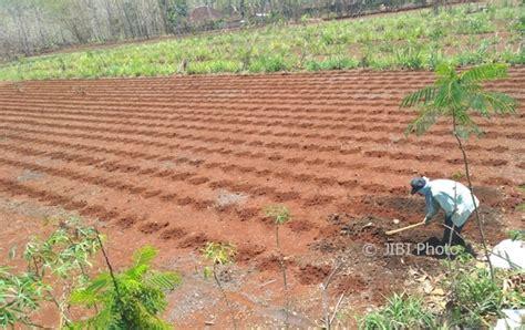 Bibit Kambing Di Wonogiri pertanian wonogiri hujan enggan turun lagi petani pracimantoro waswas bibit jagung mati