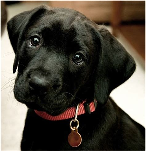 small lab 2 years ago my big fat lab was as small and cute as this