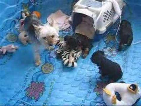 yorkie at 6 weeks miracle yorkies felicity yorkie puppies funnycat tv