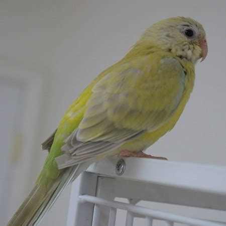 red rumped parakeet 110517 for sale in salisbury md