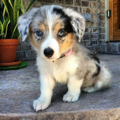 aussie corgi puppies corgi aussie mix animals and pets