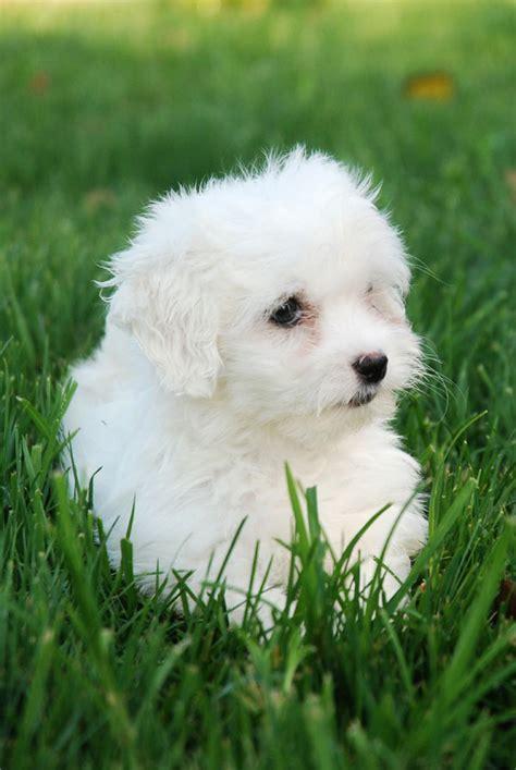 fotos de perros shih tzu miniatura caracteristicas bichon maltes venta perros cachorros bichon maltes