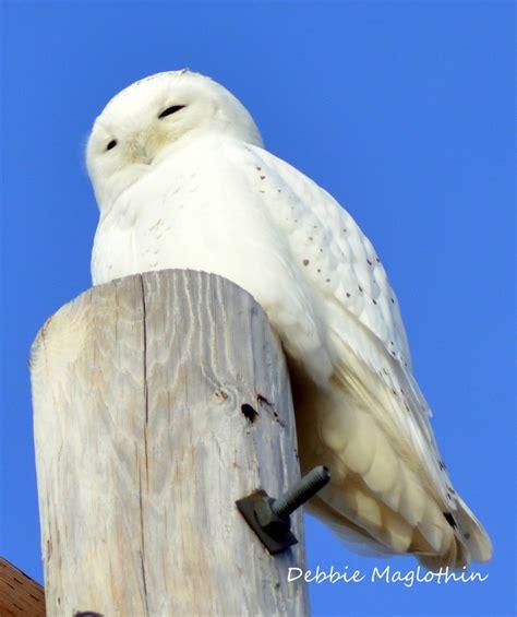 Snowy Owl Kit168 ä á Chæ I M 244 H 236 Nh GiẠY Miá N Ph 237 - 16 best cha photography birds images on