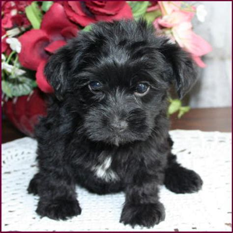 yorkie mix with poodle puppies yorkipoo yorkie poodle yorkiepoo puppies for sale iowa