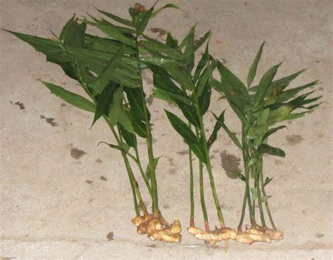 coltivazione zenzero vaso la coltivazione dello zenzero piante da terrazzo