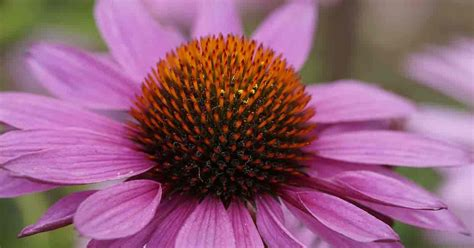 growing echinacea how to care for the coneflower plant