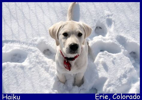 lab puppies for sale in california white lab puppies for sale in california images