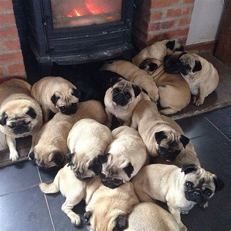 a grumble of pugs a of pugs is called a grumble 13 facts that will immediately boost your mood