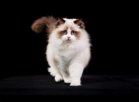 a ragdoll cat cat breeds 101 the ragdoll greengato