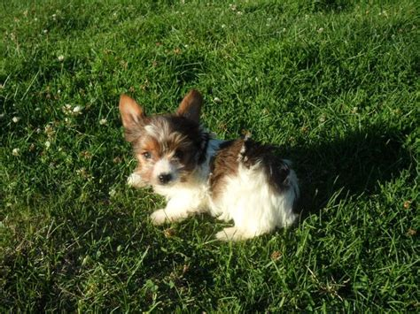 yorkie puppies for sale in montana montana miniature dachshunds for sale mt yorkie puppies for sale