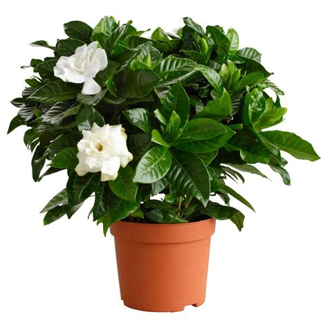 gardenia in vaso ciarrocchi vivai quality plants since 1915 nursery