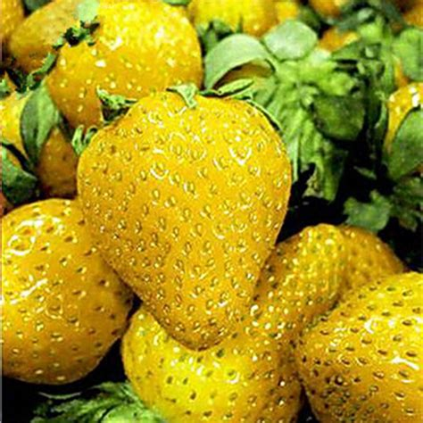 Strawberry Yellow buy wholesale yellow strawberry from china yellow