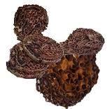 Cuci Gudang Herbal Sarang Semut Papua cara minum sarang semut cara minum sarang semut sarang