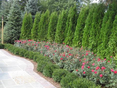 backyard shrubs privacy image result for evergreen shrub for corner of house