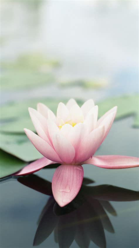 wallpaper pink lotus pink lotus flower wallpaper free iphone wallpapers