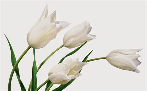 Set Flower Putih 9 wallpaper tulip putih deloiz wallpaper