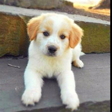 labrador border collie mix puppies best 25 border collie lab mix ideas only on black lab mix lab mixes and