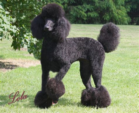 lifespan of standard poodle photo poodle dogs black grass animals 1931x1575