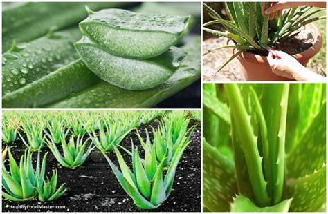 aloe vera plant diseases the plant of immortality aloe vera eliminates and