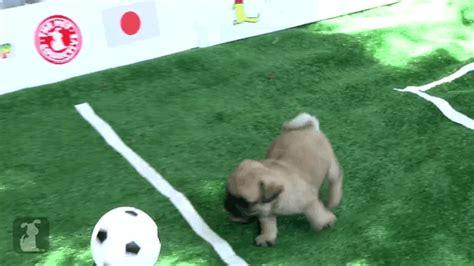 soccer pugs world pup pugs soccer gif wifflegif