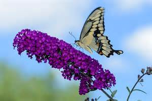 What Flowers Do Butterflies Like - best 6 perennial bushes to attract butterflies gardener