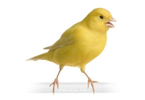 Obat Cacing Burung Kenari tips meminimalkan bukan menghilangkan kondisi burung kenari klub burung