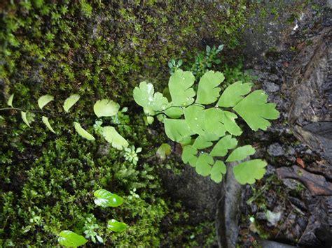 tumbuhan paku di cuban rondo dynilara