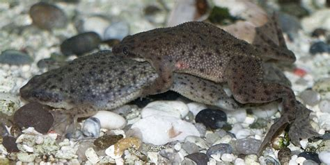 African dwarf frog | fishyhelp on wordpress