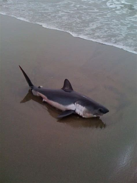 baby shark attack 17 best images about porbeagle sharks lamna nasus on