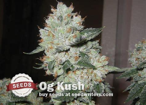 como saber cuando cortar tu planta de marihuana og kush como saber cuando cortar tu planta de marihuana og kush