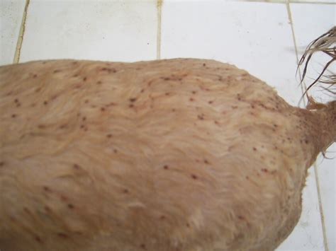 flea eggs on dogs what do fleas look like on dogs breeds picture