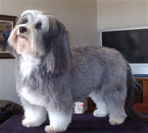 sonrisas havanese pictures of havanese haircuts breeds picture