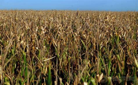 Harga Jagung Pakan Ternak Per Kg peternak mengeluh mendag harga jagung tetap rp4 000 per