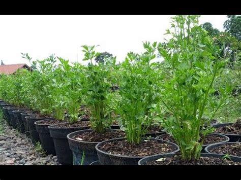 membuat tanaman hias  menanam seledri  pot