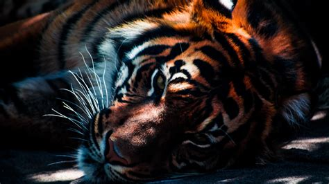 Home Interior Tiger Picture In Gallery Tiger Wallpapers 48 Tiger Hd Wallpapers