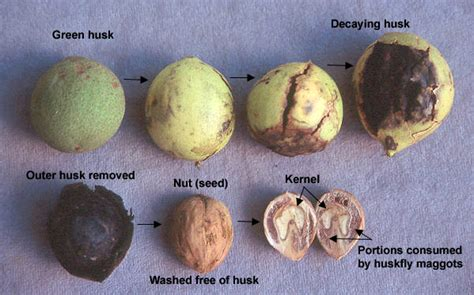 Dark Green Color Meaning by Can You Spot A Black Walnut The Parklands