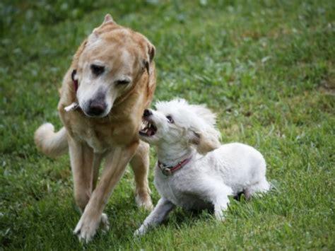 perros con personas dogdogalrescate 161 auxilio mi perro es agresivo con otros